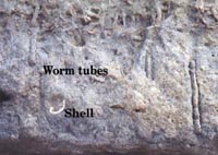 Fossil worm tubes in Delmar Formation