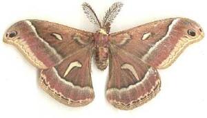 Ceonothus moth