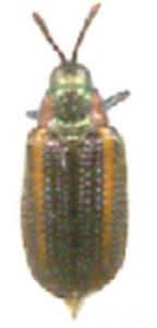 Chalepus spp