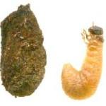 CryptocephalusLarvae