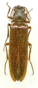 Euthysanius