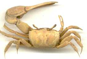FiddlerCrab