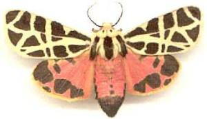 MexTiger moth