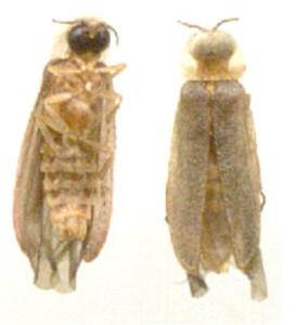 Microphotus