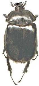 Pleocoma