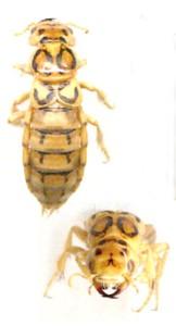 Thinopinus