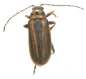 Trirhabda spp