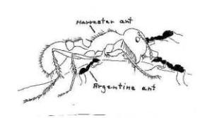 ant-Argentine