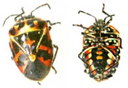 The Harlequin Bug