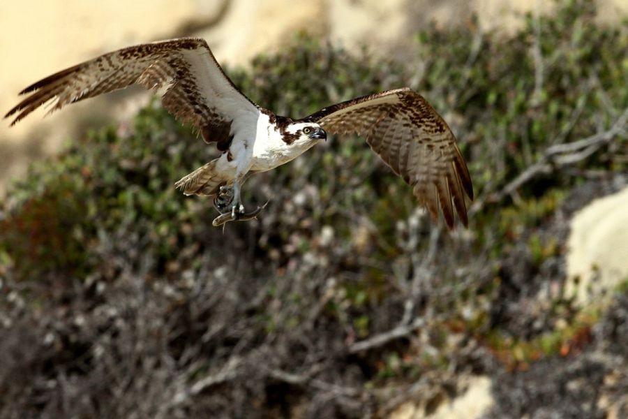 Osprey w/fish