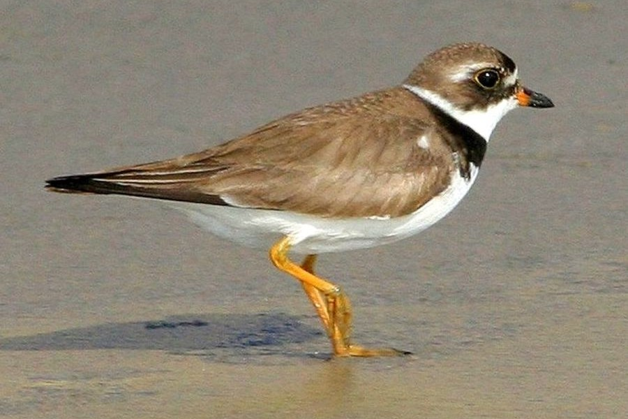 Semipalmated_plover_HK5221